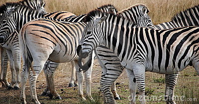 Herd of African Zebras