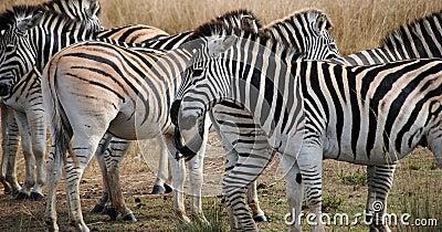 Herd of African Zebras