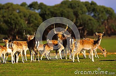 Herd of Axis Deer