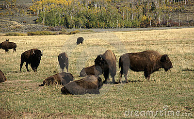Herd of bison migrating