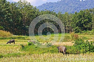 Herd of buffalos on vacant rice field