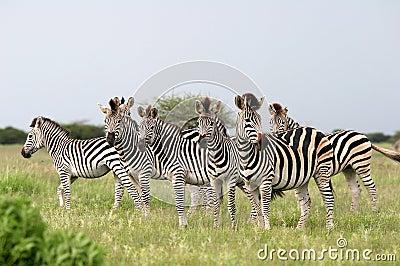 Herd Burchell s zebras
