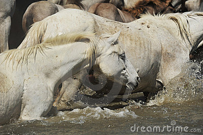 Herd of Camargue horses