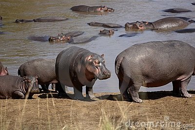 Herd of Common Hippopotamus