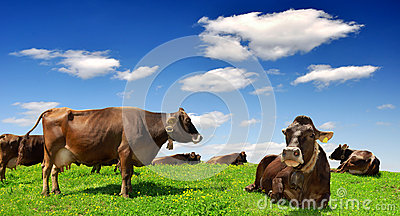 Herd of Cow