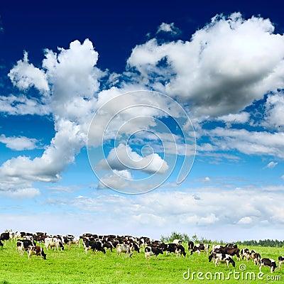 Herd cows