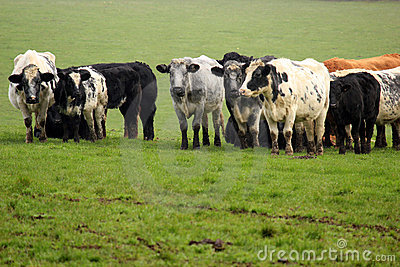 A herd of cows in a field