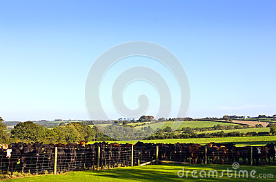 Herd of bullocks in field
