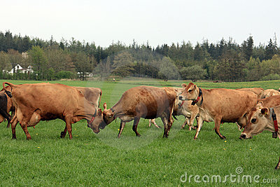 Herd of cows on field