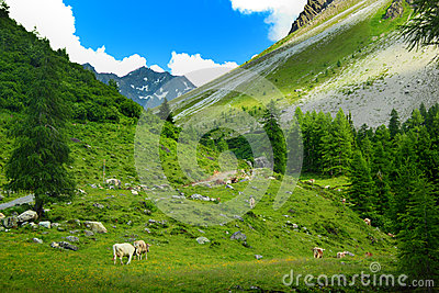 Herd of cows in mountain landscape