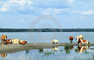 Herd of cows at the river
