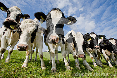 Herd of curious cows