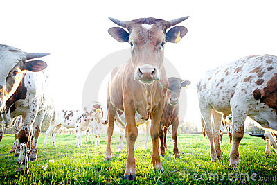 Herd of Curious Young Cows