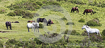 A Herd of Dartmoor Ponies, Devon, England
