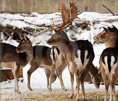Herd Of Deer Royalty Free Stock Photo - Image: 13005735