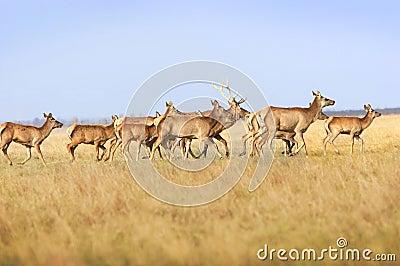 Herd deers