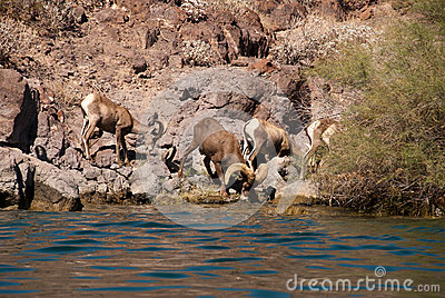 Herd of Desert Long Horn Sheep