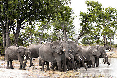 Herd of drinking elephants