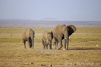 Herd of elephant