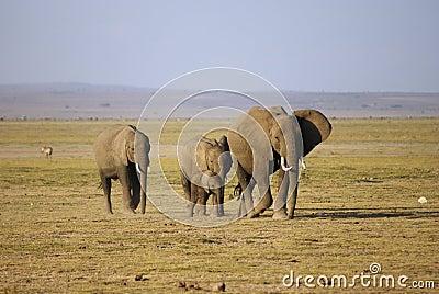 Herd of elephant