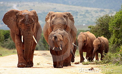A herd of elephant approching