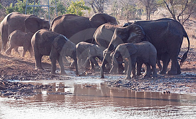 Herd of elephant drinking water