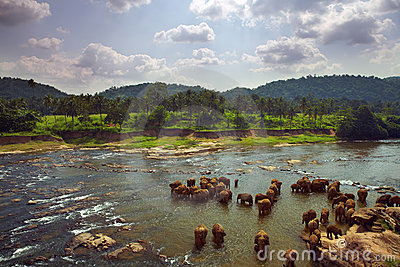 Herd of elephants bathing in the river