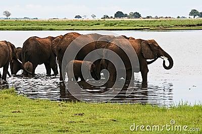 Herd of elephants in lake