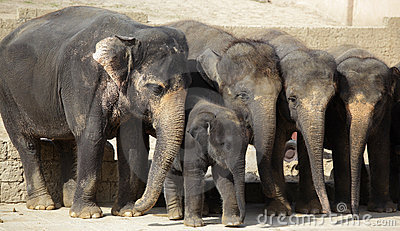 Herd of female indian elephants with calf