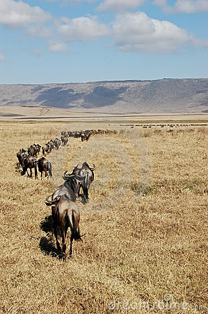 Herd Of Gnu (Wildbeest) Walking Away