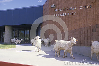 Herd of goats Editorial Photography