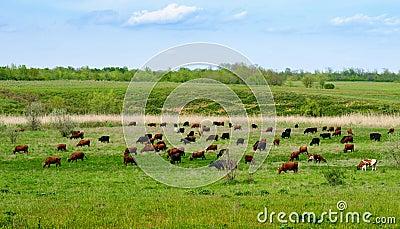 Herd of grazing cows