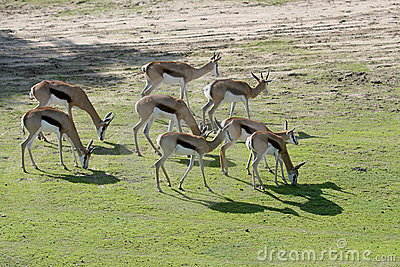 A herd of grazing springboks