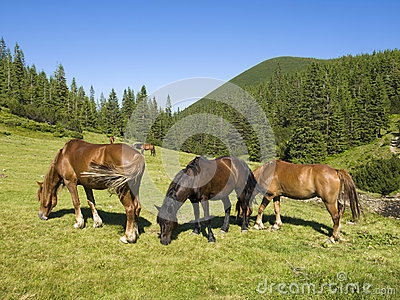 Herd of horses in the hills