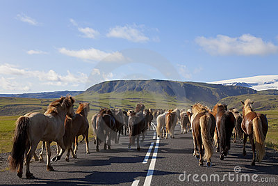 Herd of Icelandic Horses Running Down A Road