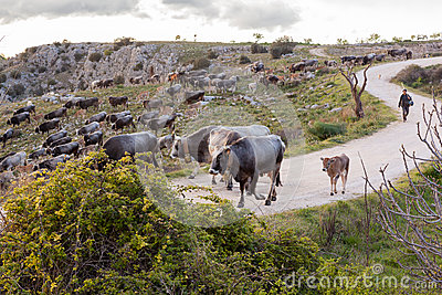 Herd of Italian cows Sheppard Editorial Photography