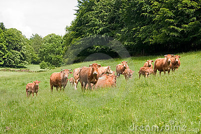Herd of limousin cow