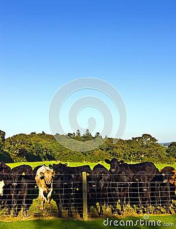 Herd of young bullocks