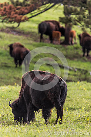 Free Herd Of Buffalo Royalty Free Stock Images - 86821329