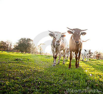 Free Herd Of Curious Young Cows Royalty Free Stock Photo - 23635185