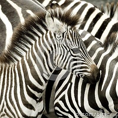 Free Herd Of Zebra At Masai Mara Kenya Royalty Free Stock Images - 4574269