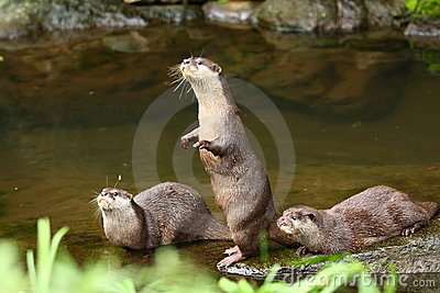 Herd of Otter