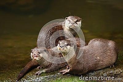 Herd of Otter