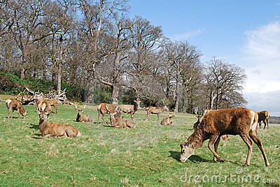 Herd of Red Deer, Richmond Park