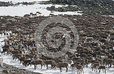 Herd of reindeers