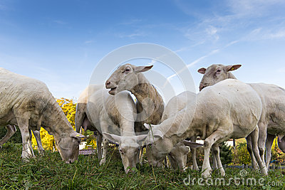A herd of sheep browse and eat fresh grass with b