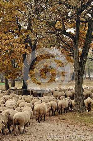 Herd of sheep gathering