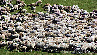 Herd of sheep on green meadow 1