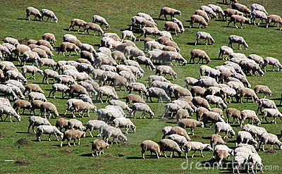 Herd of sheep on green meadow 3