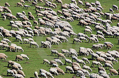 Herd of sheep on green meadow 5